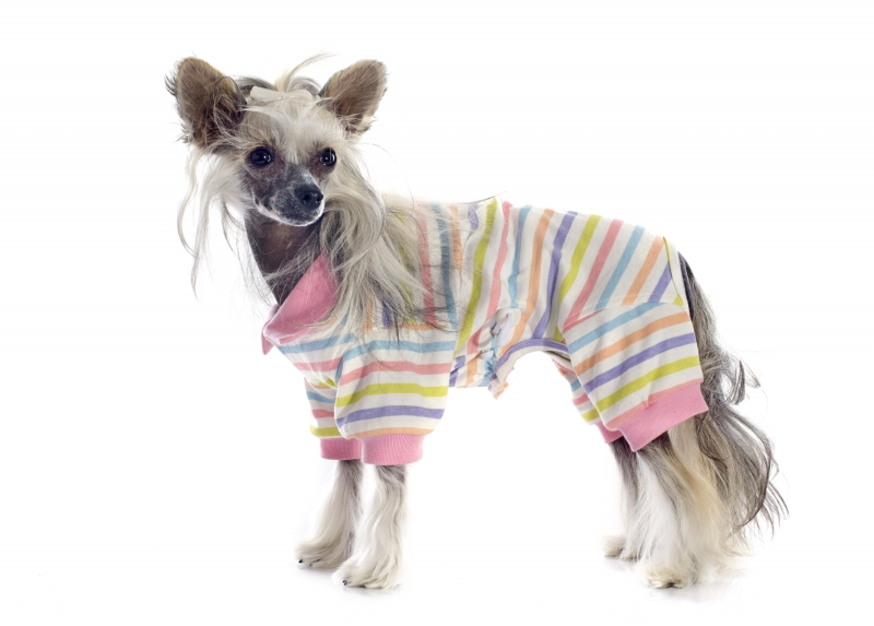 8573447-dressed-chinese-crested-dog